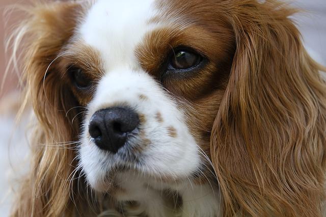 איך לטפח כלב קינג צ'ארלס?