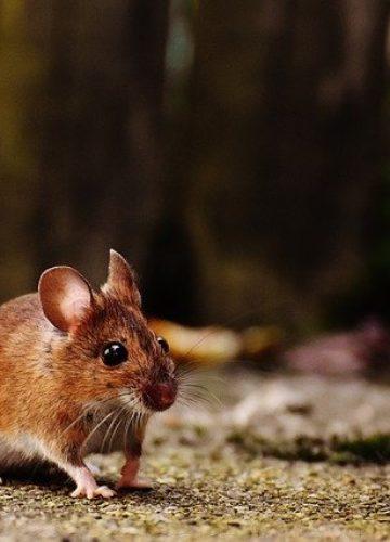 איך נמנעים מנוכחות עכברים בבית?
